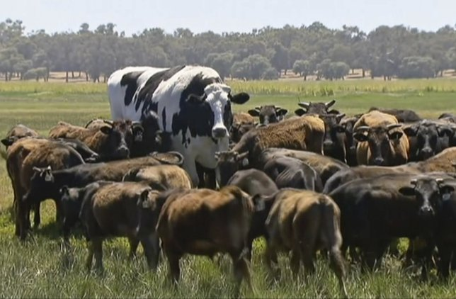 A Giant Cow Called Knickers Is So Large It Actually Saved His Life →
